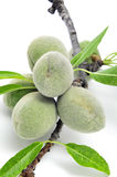 Green almonds. A branch of almond tree with some green almonds on a white background Royalty Free Stock Photos