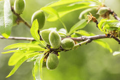 Green almonds. Closeup of a branch of almond tree with some green almonds Stock Images