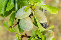 Green almonds growing on branch in the sun Stock Photography