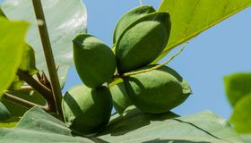 Green Almonds on Tree-Closeup shot. Close up shot of green almonds on almond tree with leaves visible. Almond species is some Indian Almonds royalty free stock photo