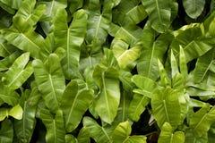 Green alocasia leaves Stock Photo