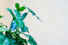 Green alocasia leaves background Stock Image