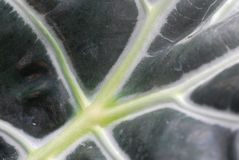 Green alocasia Plant Leaves Stock Images