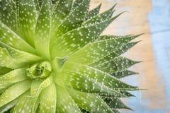 Green aloe plant abstract Royalty Free Stock Photo