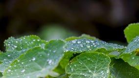 Dew drops on light green leaf Stock Photo