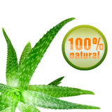 Green aloe vera with icon isolated on white. Close-up photo of green aloe vera with icon isolated on white royalty free stock image
