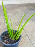 This is the green Aloe vera. It is plant in the basket flowerpot. It is really mediclal useful and for beauty products. The image stock image