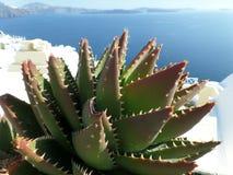 Green Aloevera Againt Blue Aegean Sea at Santorini Island, Greece Stock Images