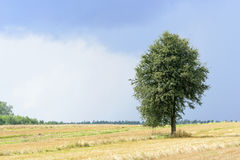 Green alone tree. On a cultivated land with sky before the storm Royalty Free Stock Photo