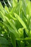 Green Alpinia galanga plants in nature garden Stock Photos