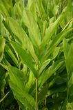 Green alpinia galanga plants in nature garden Royalty Free Stock Photo