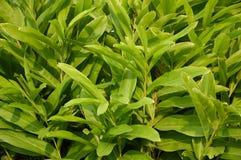 Green alpinia galanga plants in nature garden Stock Photo