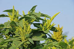 Green Amaranth from India Stock Photography