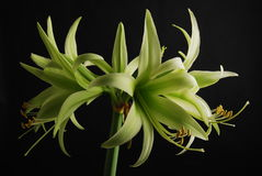 Green Amaryllis Royalty Free Stock Photos