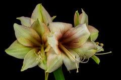 Green amaryllis flower Royalty Free Stock Images