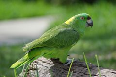 Green Amazon Parrot. Sitting on log Royalty Free Stock Photo