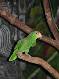 Green Amazon Parrot. Small Amazonian parrot on branch Stock Image