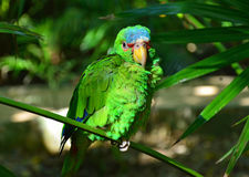 Green Amazon Parrot Stock Photography