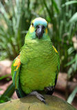 Green amazon parrot Stock Photo
