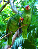 Green amazon parrots. Couple of a green amazon parrots on the branch stock images