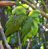 Green amazon parrots Royalty Free Stock Photo