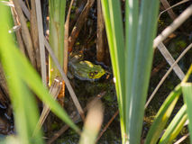 Green American Bullfrog. Among the grass in a pond in central Ohio park stock photos