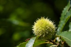 Green american chestnut Stock Photos