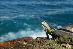 Green American Iguana standing on the cliff rock with blue sea water as a background Stock Photos
