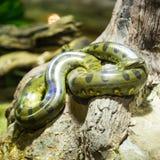 Green anaconda Royalty Free Stock Photos