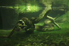 Green anaconda (Eunectes murinus) Royalty Free Stock Image