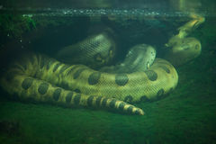 Green anaconda (Eunectes murinus). Royalty Free Stock Images