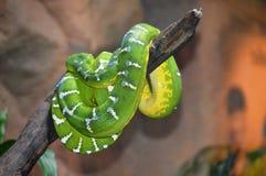 Green Anaconda Stock Image
