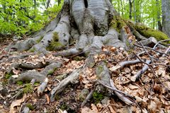Beautiful Century-Old Tree Roots. Green Ancient Tree in Bulgaria Royalty Free Stock Photography