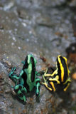 Green And Black Poison Frog Royalty Free Stock Photos
