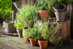 Free Green And Ecological Herbs In Old Clay Pots Stock Photos - 99058793