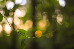Free Green And Yellow Abstract Blurred Background With Plant And Beautiful Bokeh In Sunlight. Macro Image With Small Dept Of Field Royalty Free Stock Photography - 88823737