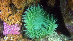 Green anemone on background seabed underwater in ocean of Alaska. stock video
