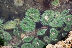 Green anemone. Multiple living anemone in tidal pool at low tide Stock Image