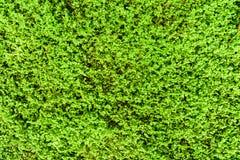 Green Angel Tear Plant Or Pollyanna Vine (Soleirolia Soleirolii Urticaceae) Stock Images