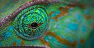 Green Animal Eye royalty free stock image