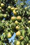 Green anjou pears Royalty Free Stock Photos
