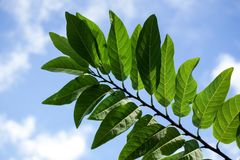 Green Annona squamosa leaves in nature garden Royalty Free Stock Photo