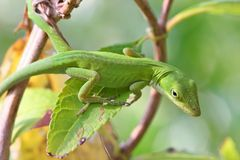 Green Anole. Sitting on a Leaf Royalty Free Stock Images