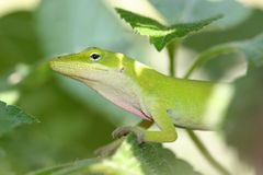 Green Anole. In the Plant stock images