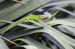 Green Anole American Chameleon lizard Royalty Free Stock Photography