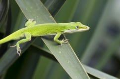 Green Anole American Chameleon lizard Stock Image
