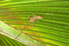 Green Anole (Anolis carolinensis) Royalty Free Stock Photo