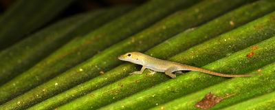 Green Anole (Anolis carolinensis) Stock Images