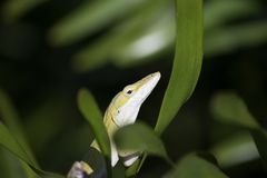 Green Anole Anolis carolinensis Closeup. Sunning on the leaf of a Coontie Plant Zamia integrifolia Showing Brown Eye stock image