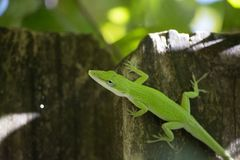 Green Anole Anolis carolinensis Closeup Wooden Fence. Green Anole Anolis carolinensis Closeup Sunning on Weather Wood Fence royalty free stock image
